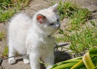 Ragdoll котенка за пределами Бесплатные Фотографии