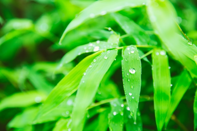 Raining season. rain drops at green leaf of bamboo plant beautiful nature background Premium Photo