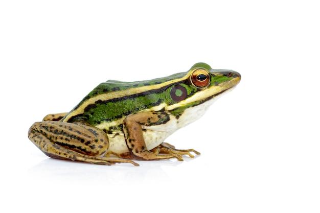 水田の緑のカエルまたは緑の水田のカエル(rana erythraea)のイメージ。両生類。動物。 Premium写真