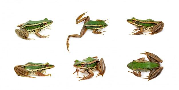 水田緑カエルまたは緑水田カエル(rana erythraea)のグループ。両生類。動物。 Premium写真