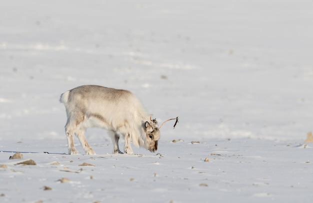 野生のスバールバル諸島トナカイ、rangifer tarandus platyrhynchus、ノルウェーのスバールバル諸島のツンドラで雪の下で食べ物を探しています。 Premium写真