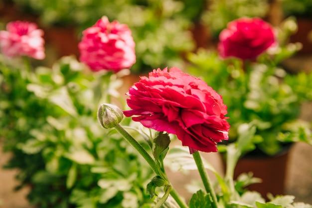 Лютик розовый или персидский лютик розовый цветок с бутоном Бесплатные Фотографии