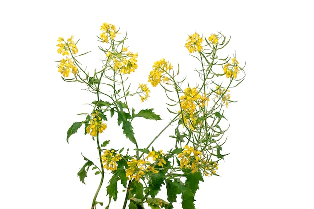 Rapaseed (brassica napus) flower Premium Photo