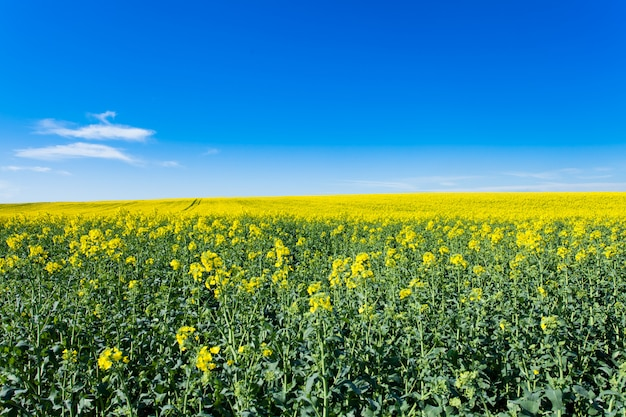 Rape fields in bloom Premium Photo