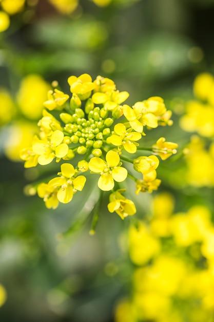 Rape flower close-up Premium Photo