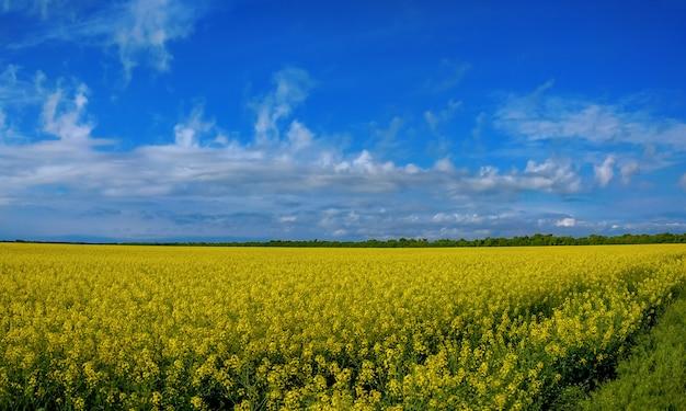 Rapeseed bloom on a field in spring in ukraine Premium Photo