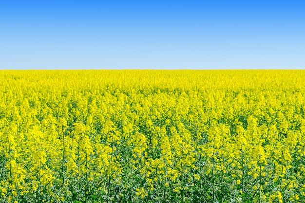 Rapeseed (brassica napus), rape, oilseed rape field Premium Photo