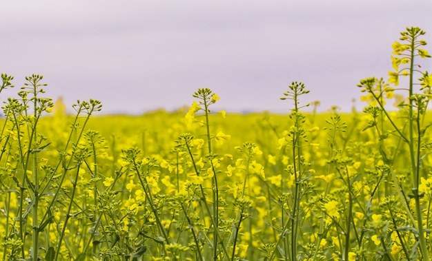 Rapeseed field, blooming canola flowers close up. Premium Photo