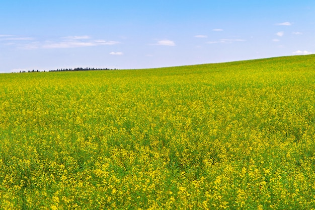 Rapeseed field during flowering Premium Photo
