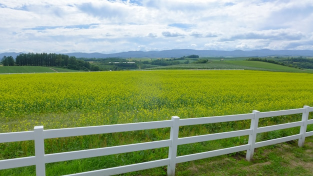 Rapeseed field and the white wood fence in japan Premium Photo