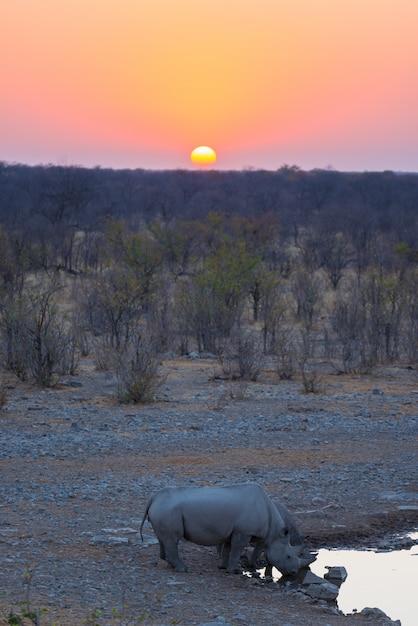 Rare black rhinos drinking from waterhole at sunset Premium Photo