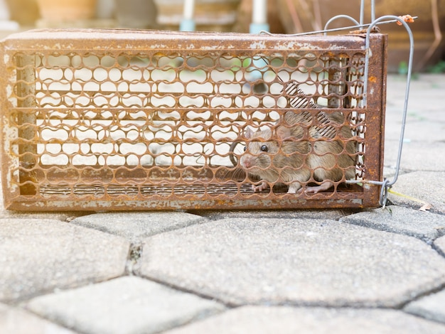 Rat is trapped in a trap cage Premium Photo