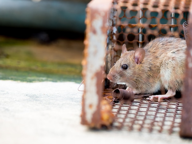 The rat was in a cage catching a rat the rat has contagion the disease to humans Premium Photo