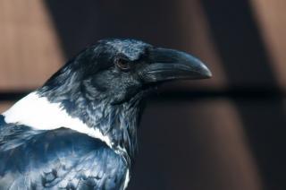 Ворон птица Бесплатные Фотографии