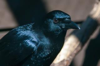 Ворона черная Бесплатные Фотографии