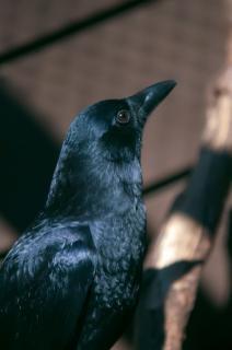 Ворон дикой природы Бесплатные Фотографии