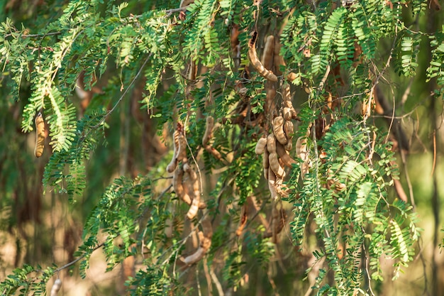 Raw tamarind on the tamarind tree in the garden with natural Premium Photo