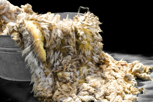 Raw wool fleece just sheared before being spun Premium Photo