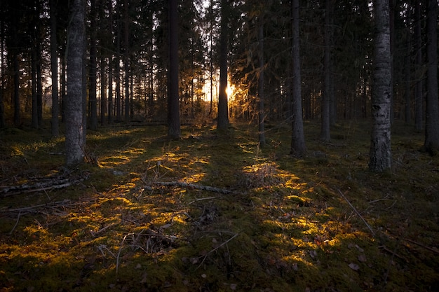 Rays of the sun illuminating the dark forest with tall trees Free Photo