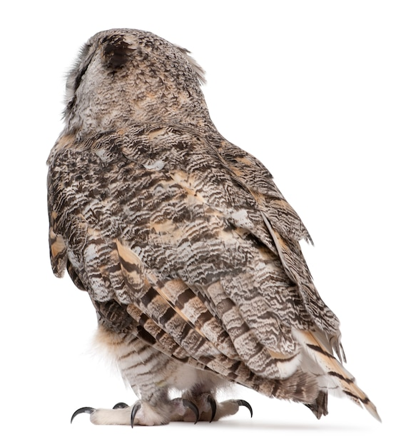 Rear view of great horned owl, bubo virginianus subarcticus, on white isolated Premium Photo
