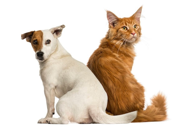 Rear view of a maine coon kitten and a jack russell sitting Premium Photo