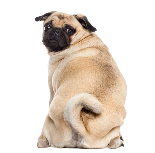 Rear view of a pug sitting and looking at the camera isolated on white Premium Photo
