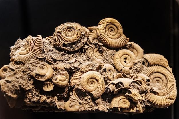 Reconstruction of an ammonites dactylioceras commune Premium Photo