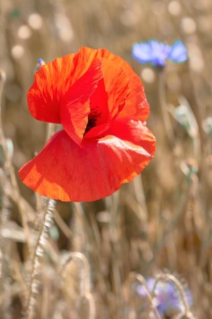 赤とオレンジのポピー、外のフィールドに明るい青いヤグルマギク。 Premium写真