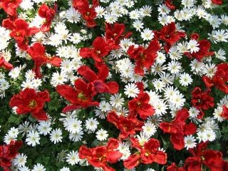 Red and white flowers flowers white photo free download red and white flowers flowers white free photo mightylinksfo