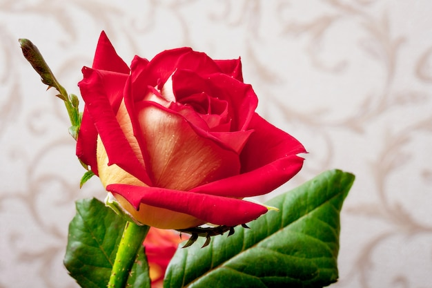 Red attractive rose in a room against wallpaper background Premium Photo