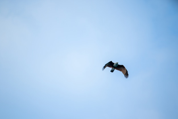 Red backed sea eagle flying in the sky Premium Photo