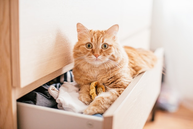 A red beautuful cat lies in a chest of drawers on clothes at home and looks at the camera Premium Photo