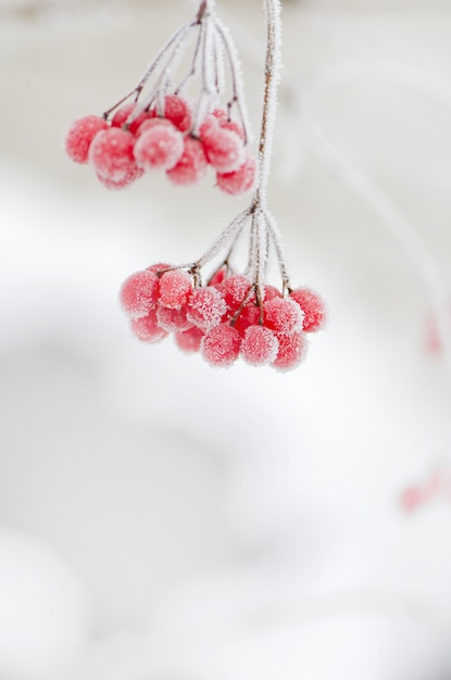 Red berries of viburnum. Premium Photo