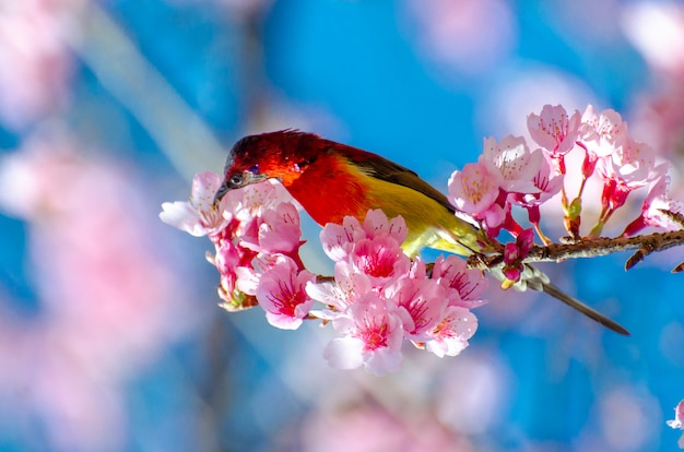枝の上に腰掛けて赤い鳥青い背景さくら Premium写真