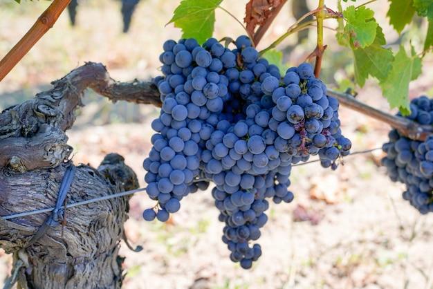 Красное черное вино в винограднике бордо на винограднике Premium Фотографии