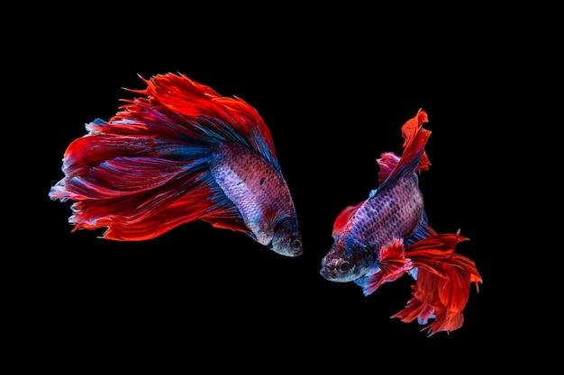 Red and blue betta fish, siamese fighting fish on black background Premium Photo