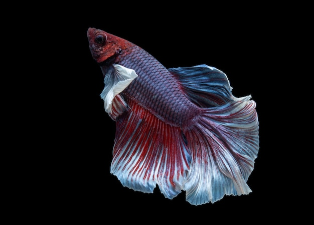 Red and blue half moon siamese fighting fish (plakat thai) isolated on black background Premium Photo