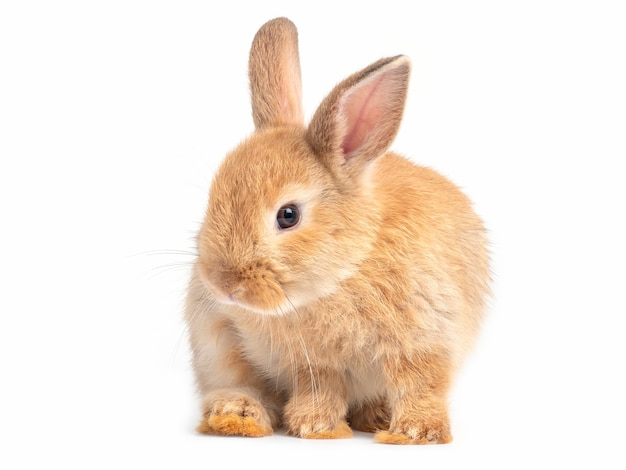 Red-brown cute baby rabbit isolated lovely action of young brown rabbit. Premium Photo