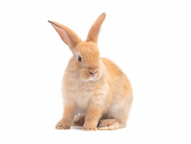 Red-brown cute baby rabbit isolated on white background. Premium Photo