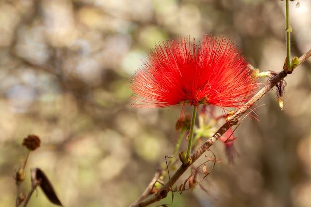 赤いカリアンドラパウダーパフフラワー Premium写真