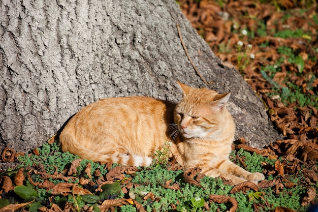 Red cat lies beneath an old tree on fallen leaves Free Photo