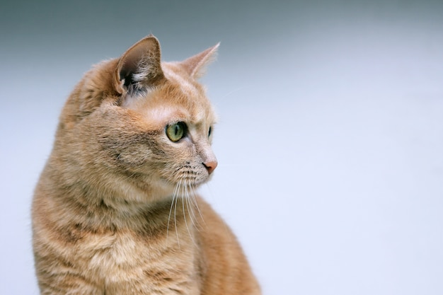 赤猫は集中して目をそらします。 Premium写真