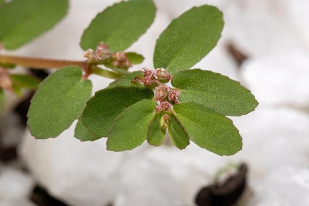 Каустик-лианник вида euphorbia thymifolia с плодами и цветами Premium Фотографии