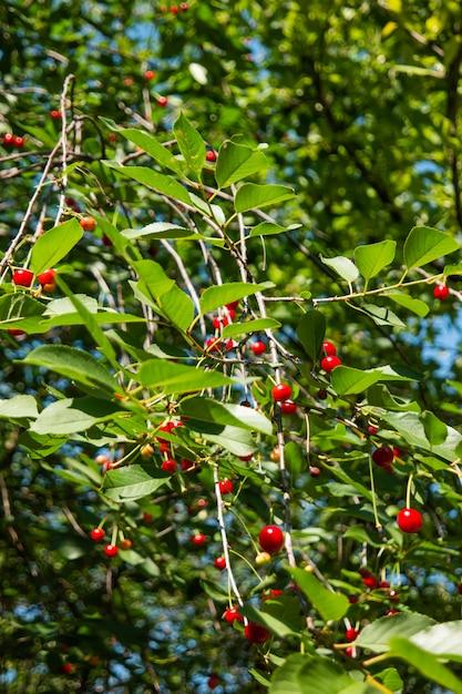Red cherries on tree Premium Photo