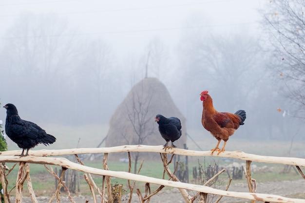 Красный цыпленок, стоящий на деревянный забор с курятником в фоновом режиме Premium Фотографии