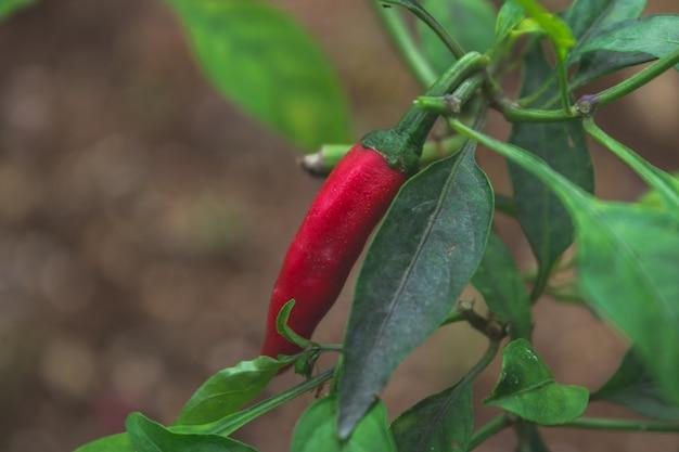 Red chili pepper Free Photo