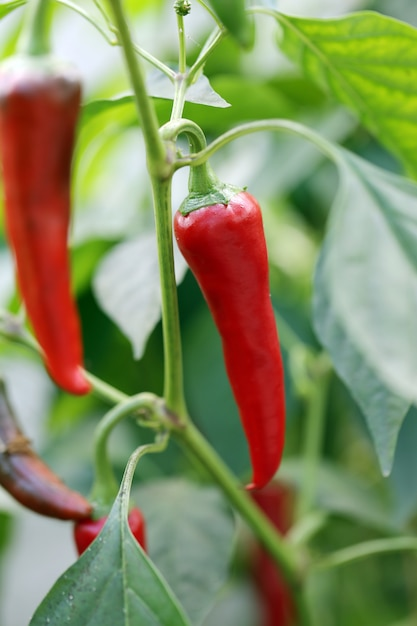 Red chilli peppers Free Photo