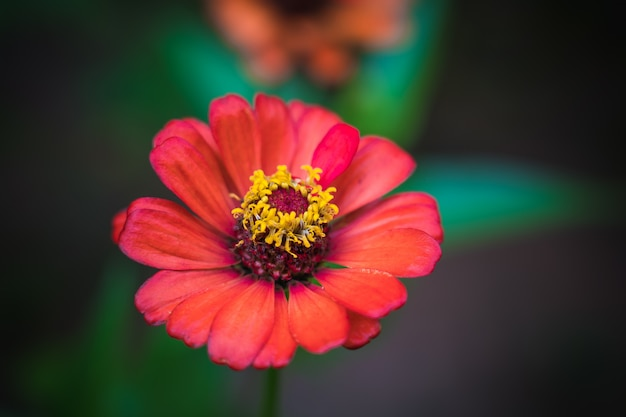 Red common zinnia (zinnia elegans) in garden with space for putting text Premium Photo