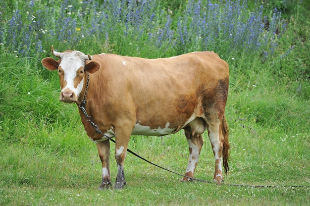Red cow with horns tethered grazing Premium Photo