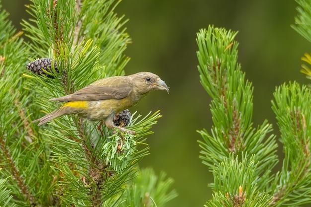 矮性の松の枝に座って餌をやる赤いクロスビルloxiacurvirostraの女性 Premium写真